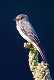Eastern Wood-Pewee Royalty Free Stock Photos