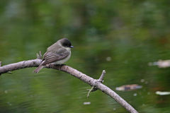 Eastern Wood-Pewee Stock Photos