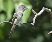 Eastern Wood-Pewee Royalty Free Stock Image