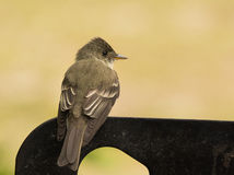 Eastern Wood-Pewee Stock Photography