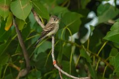 Eastern Wood Pewee - Contopus virens. Eastern Wood Pewee perched on a branch. Presqu`ile Provincial Park, Brighton, Ontario, Canada royalty free stock image