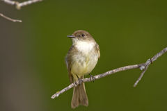Eastern Wood-Pewee perched. An Eastern Wood-Pewee perched high up in a tree Stock Image