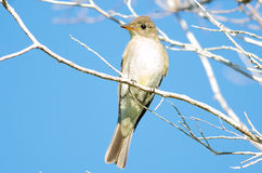 Eastern Wood-pewee Royalty Free Stock Images