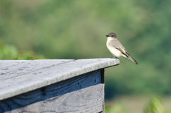 Eastern Wood-Pewee Resting on a Shed Stock Photos