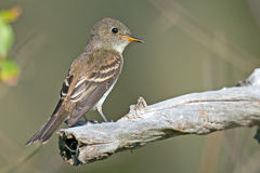 Eastern Wood-Pewee Royalty Free Stock Photo