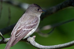 Eastern Wood-Pewee Stock Images