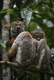 Eastern Woolly Lemur - Avahi laniger. Rain forest Madagascar east coast. Cute primate. Madagascar endemite Stock Images