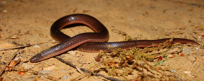 Eastern Wormsnake (Carphophis amoenus) Royalty Free Stock Photos