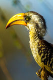 Eastern Yellow Billed Hornbill Royalty Free Stock Photo