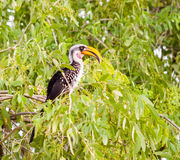 Eastern Yellow-billed Hornbill royalty free stock images