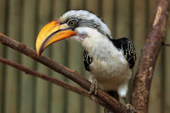 Eastern yellow-billed hornbill (Tockus flavirostris). Stock Photo
