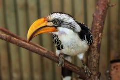 Eastern yellow-billed hornbill (Tockus flavirostris). Stock Images