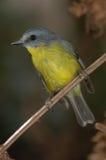 Eastern Yellow Robin. An Eastern Yellow Robin (an Australian bird) sitting on a twig Stock Photos