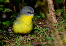 Eastern yellow robin chick. Eastern yellow robin juvenile in a rainforest, Queensland, Australia Royalty Free Stock Photo