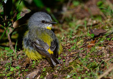 Eastern yellow robin chick. Eastern yellow robin juvenile in a rainforest, Queensland, Australia Royalty Free Stock Photos