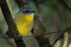 Eastern Yellow Robin - Eopsaltria australis - australian brightly yellow small song bird, southern and eastern Australia.  Royalty Free Stock Photography