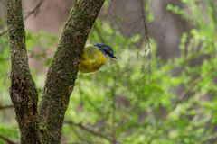 Eastern Yellow Robin - Eopsaltria australis - australian brightly yellow small song bird, southern and eastern Australia.  royalty free stock photos