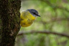 Eastern Yellow Robin - Eopsaltria australis - australian brightly yellow small song bird, southern and eastern Australia.  royalty free stock images