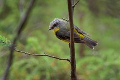 Eastern Yellow Robin - Eopsaltria australis - australian brightly yellow small song bird, southern and eastern Australia.  royalty free stock image