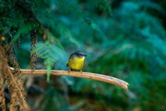 Eastern Yellow Robin - Eopsaltria australis - australian brightly yellow small song bird, southern and eastern Australia.  royalty free stock photo