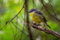 Eastern Yellow Robin - Eopsaltria australis - australian brightly yellow small song bird, southern and eastern Australia.  stock photos