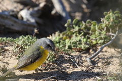 Eastern Yellow Robin (Eopsaltria Australis) Stock Photos