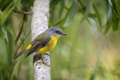 Eastern Yellow Robin Stock Images