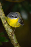 Eastern yellow robin. In a rainforest, Queensland, Australia Stock Photos