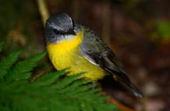 Eastern yellow robin. In a rainforest, Queensland, Australia Royalty Free Stock Photos