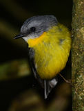 Eastern yellow robin. In a rainforest, Queensland, Australia Royalty Free Stock Photo