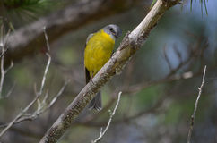 Eastern Yellow Robin Stock Photo