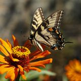 Eastern yellow tiger swallowtail butterfly. Eastern yellow tiger swallowtail butterfly image stock images