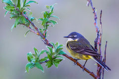 Eastern Yellow Wagtail Royalty Free Stock Photos