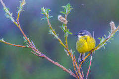 Eastern Yellow Wagtail Stock Photography