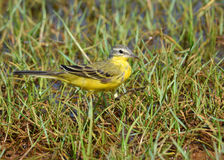 Eastern yellow wagtail Royalty Free Stock Photo