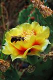 EasternPrickly Pear with Pollinators Royalty Free Stock Image