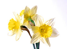 Easterntime. Three daffodils isolated on white Royalty Free Stock Image