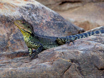 EasternWater Dragon. Male Water Dragon Found Along Small Creeks & Rivers Stock Image