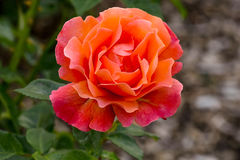 Easy Does It Rose Flower Royalty Free Stock Image