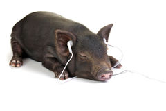 Easy listening. Small black pig lying down and listening to music through white headphones stock images