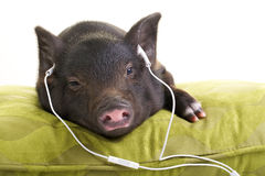Easy listening. Small black pig lying down on a green pillow and listening to music through white headphones stock photography