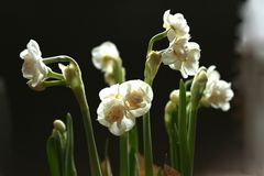 Easy spring bouquet from snow-white gentle   terry narcissuses - spring flowers with thin petals which shine on light. Easy spring bouquet from snow-white gentle Royalty Free Stock Photo