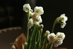 Easy spring bouquet from snow-white gentle   terry narcissuses - spring flowers with thin petals which shine on light. Easy spring bouquet from snow-white terry Stock Images