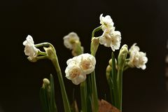Easy spring bouquet from snow-white gentle   terry narcissuses - spring flowers with thin petals which shine on light. Easy spring bouquet from snow-white terry Royalty Free Stock Photos