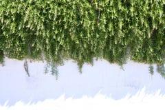Rosemary shrub Royalty Free Stock Photo