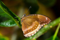 Easy tropical life. Portrait of tropical butterfly. Macro photography of wildlife Royalty Free Stock Image