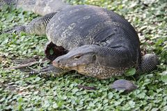 Easy way of life one of monitor lizard relax on greeen gotu kola. Monitor lizard forage relax and sunbathe freedom and easy way of wildlife in Bangkok Thailand Stock Images