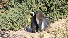 Easy Way Of Life Penguin Living In Nature. Wildlife life penguin family living with freedom in natural. South africa stock image
