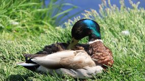 Easy Way Of Life. Sunbathing And Repose One Male Mallard. One male wild duck relaxation and sunbathing on green grass during springtime in Europe. freedom and stock photography