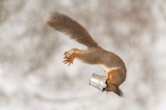 Eat during flied. Red squirrel in the air with some snow and bucket Stock Photography
